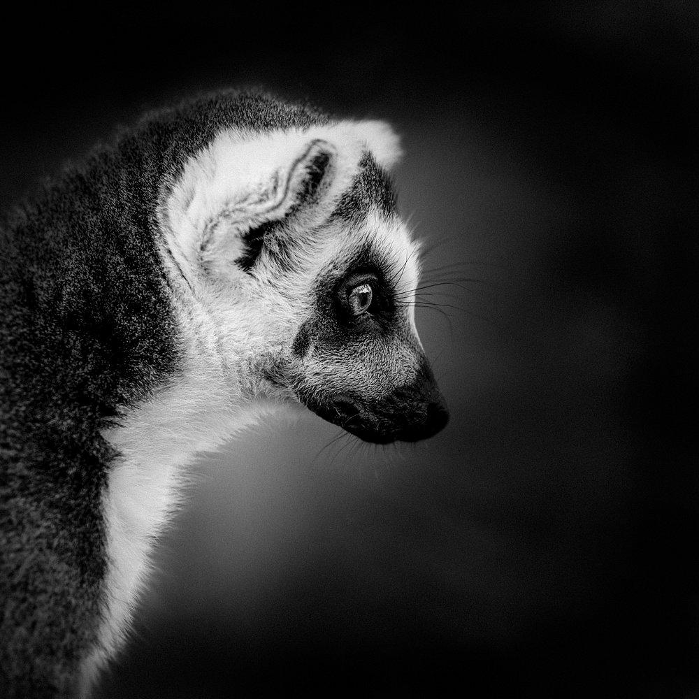 Lingering-Lemur-IPA-2014.jpg